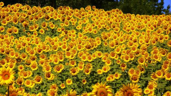 sonnenblumen feld 564